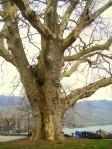 FreiheitsPlatane in Cully am Genfer See