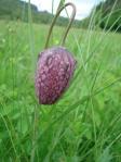 Schachblume Fritillaria meleagris