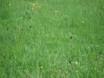 Schachblumenwiese