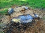 Pilz auf Eichen-Baumscheibe1