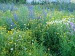 Wildblumen auf dem Eschersheimer Feld