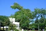 Albizie vor Palmengarten