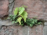 BaumSämling an Mauer