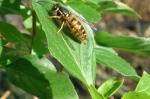Wespe im Oktober auf Basilikum