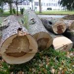 KfW-gefällter Höhlenbaum