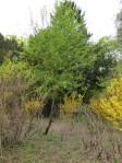 Traubenkirsche Grüneburgpark