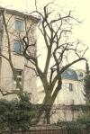 Naturdenkmal Weissdorn