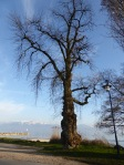 Pappel am Lac Léman (Genfer See)