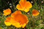 Escholzia californica
