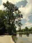 Ulme Englischer Garten München