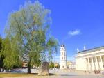 Birke (betula pendula) in Vilnius nahe Rathaus