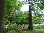 Roteiche im Grüneburgpark