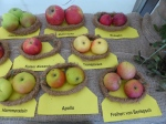 Alte Apfelsorten 2 - Erntefest