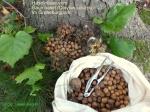 Baumhasel (Corylus colurna) -Früchte