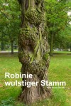 Robinie wulstiger Stamm