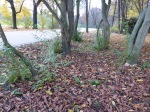 Fontanesia fortunei Grüneburgpark