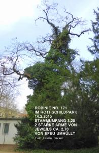Robinie Nr. 171 vorher
