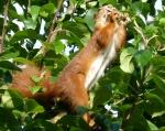 Eichhörnchen im Apfelbaum