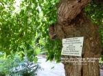 Morus alba, Weisse Maulbeere, Athen