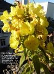 nachtkerze-oenothera